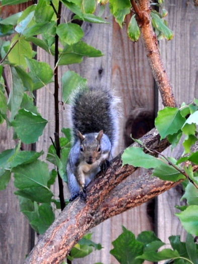squirrel in the fruit tree