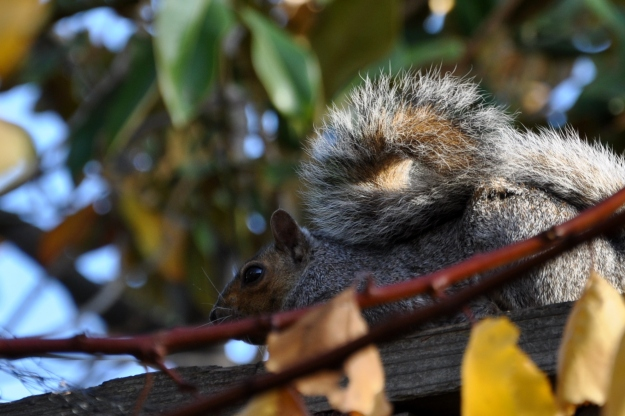 squirrel on the fence