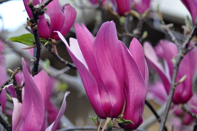 tulip magnolia March 2012