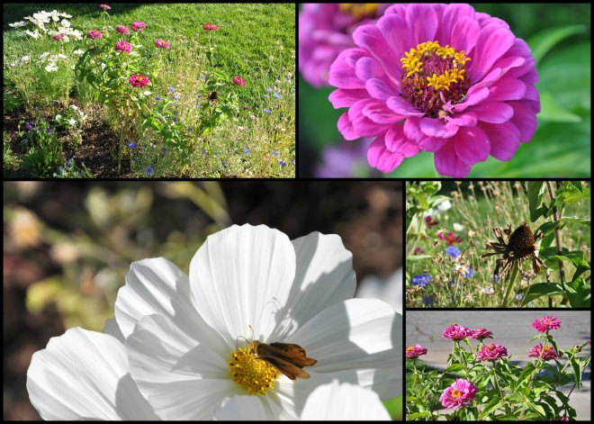 zinnias and cosmos