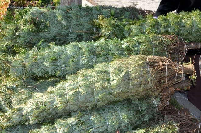 christmas tree bundles
