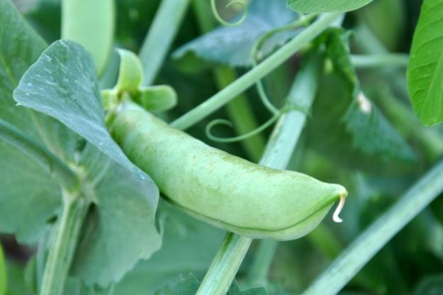 plump pea