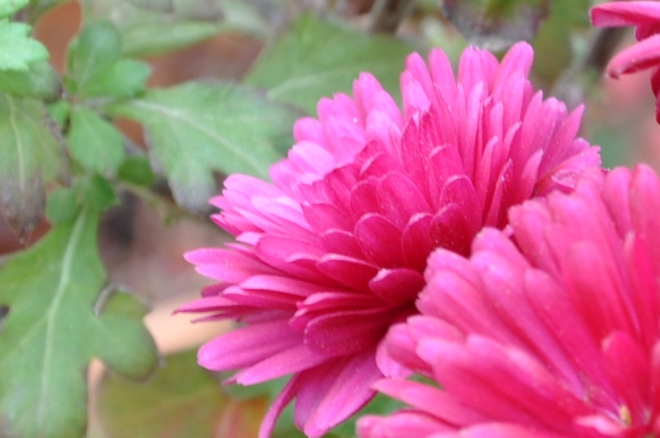 pink mum closeup