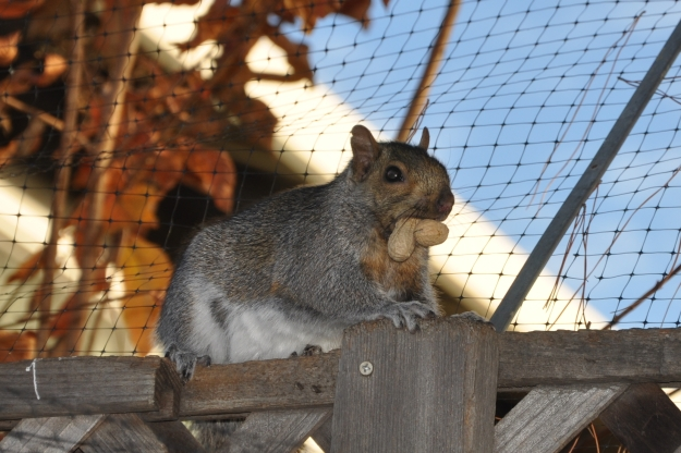 squirrel with peanuts