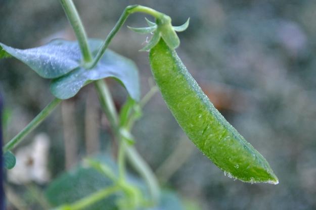 frozen pea