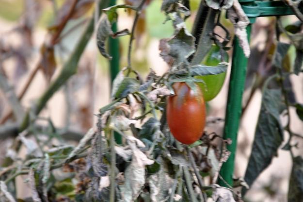 frozen tomato plant