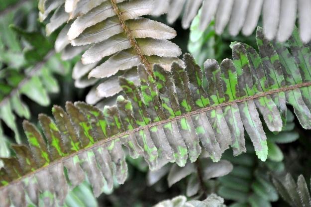 fern frost damage
