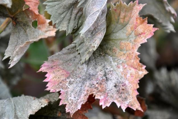 frost damage geranium