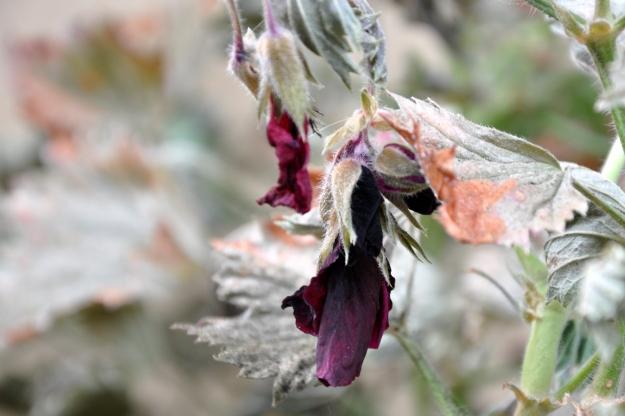 geranium flower frost damage