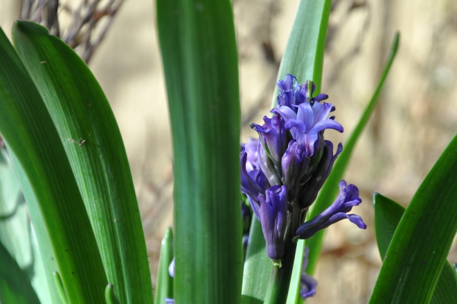Emerging hyacinth