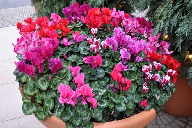 San Francisco Cyclamen