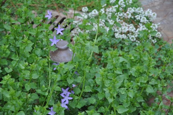 bellflower and alyssum