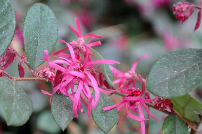 burgundy fringe flower