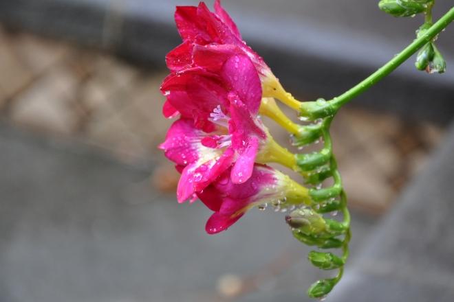 freesia in the rain pink