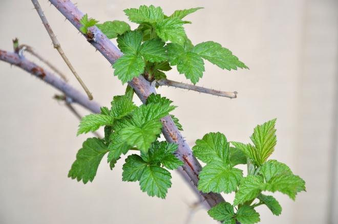 raspberry vine