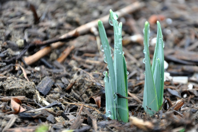 daffodils break ground