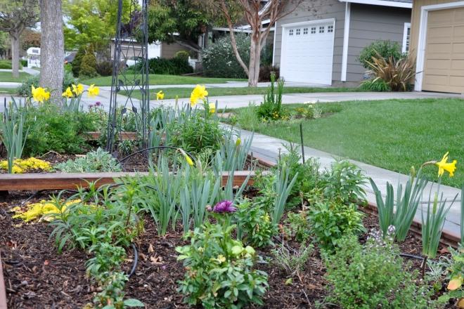 daffodils curb garden