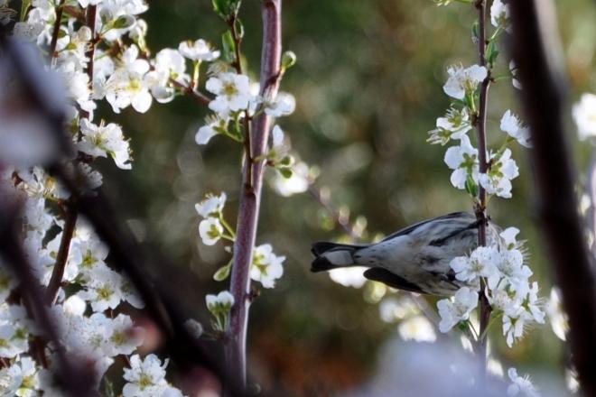 bird in the fruit tree