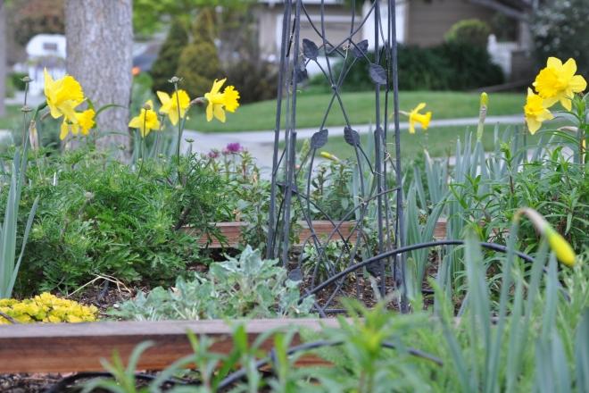 curb garden daffodils