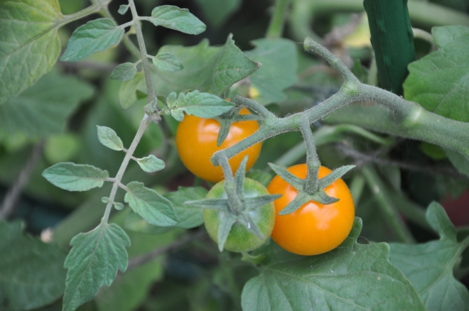 orange tomatoes 2013
