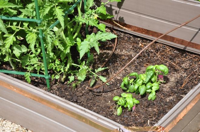newly planted basil