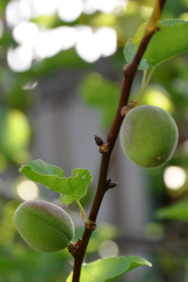 developing plums
