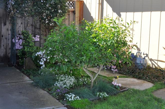 dwarf lemon in side yard