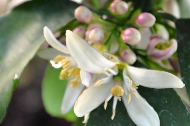 lemon tree flowers