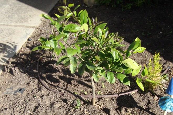 lemon tree 2011