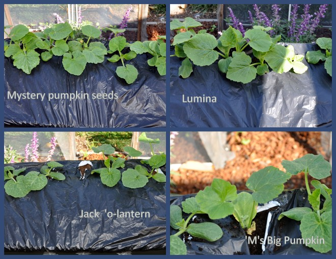 earthbox pumpkins