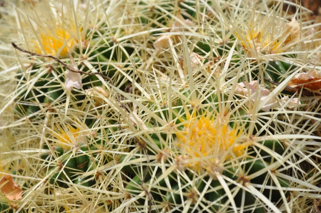 Golden Barrel Cactus - Echinocactus grusonii