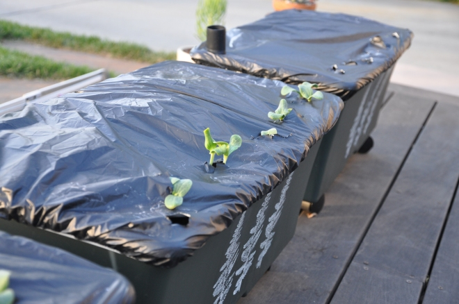 sprouting pumpkins
