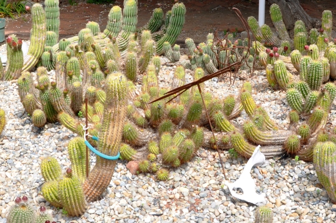 Clumping Peruvian cactus