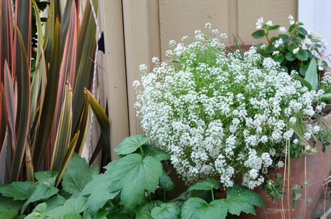 flax, anenome, alyssum, begonia