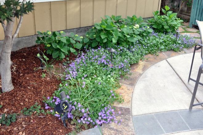 hydrangea and bellflowers
