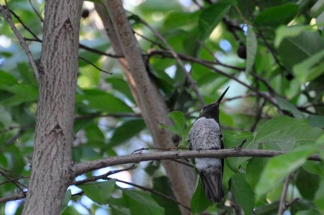 Ana's Hummingbird