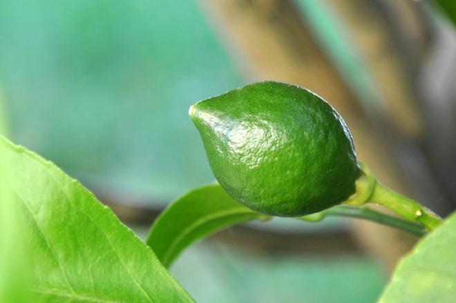 tiny lemon