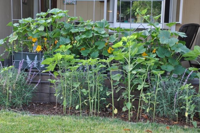 Sunflowers, Salvia and Pumpkins