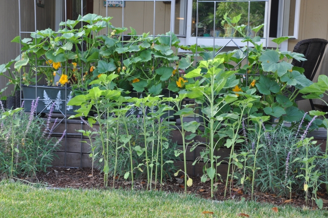 Sunflowers, Salvia and Pumpkins