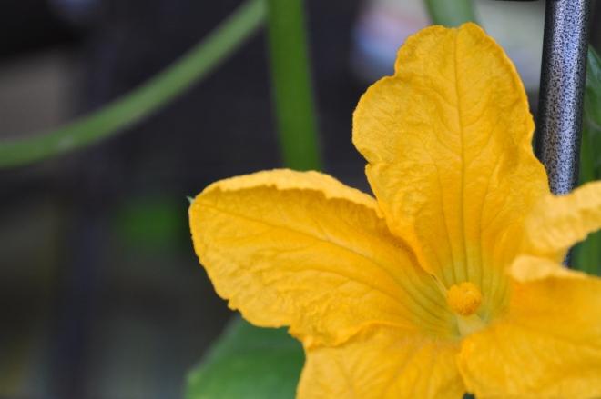 female pumpkin bud –...