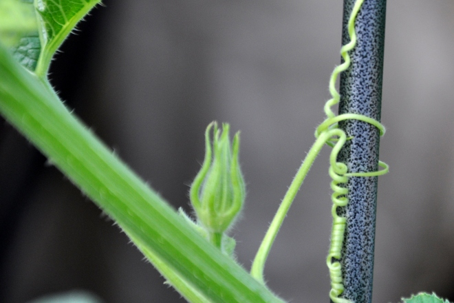 pumpkin tendril on trellis