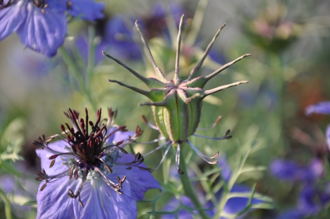 purple love-in-a-mist