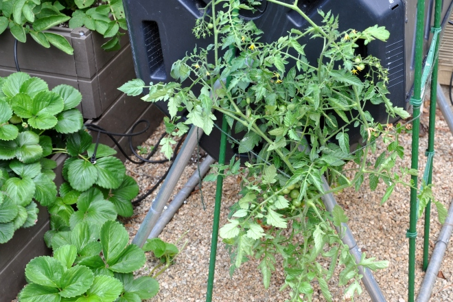 tomato staked to composter