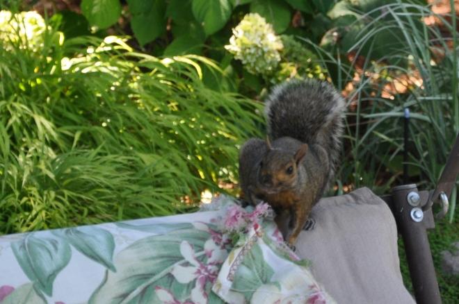 squirrel Gathering nesting material