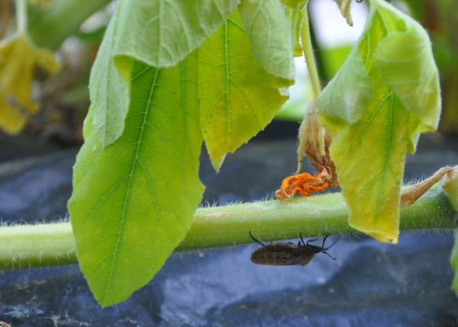 Squash bug hide and seek