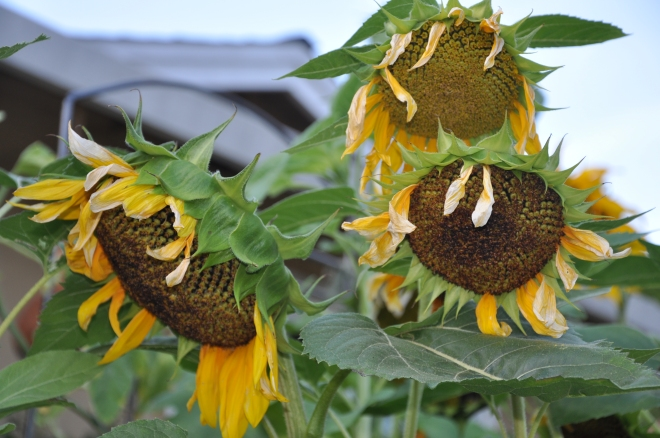 sunflowers setting seed