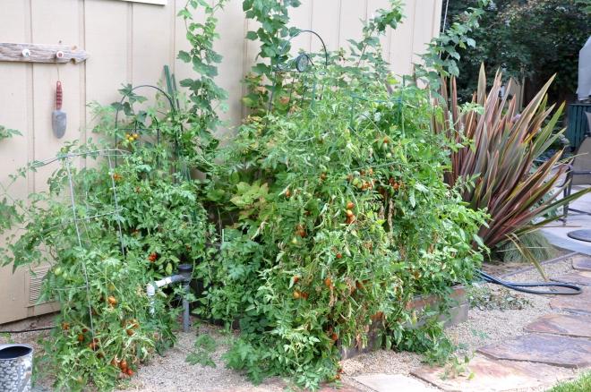 Self-seeded or Volunteer Tomatoes