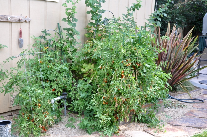 Self-seeded or Volunteer Tomatoes