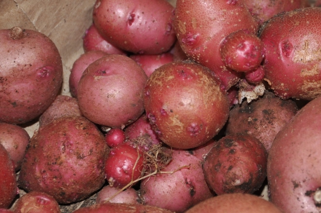 red potato harvest
