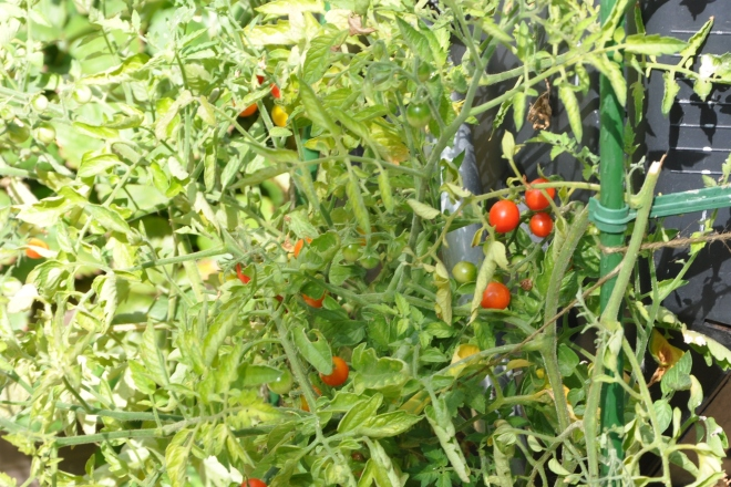 mini cherry tomatoes